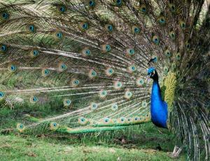 Colourful peacock