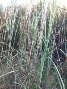 tall grass italy